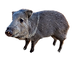 2019 Donna the pet Javelina.png