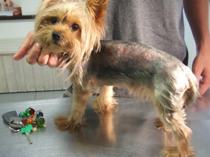 בעיות עור - טפיל הדמודקס בכלבים