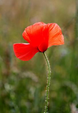 Common-Poppy-001.jpg