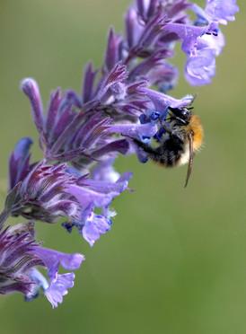 Bees-6-6-2020-011a.JPG