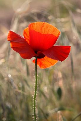 Poppy-Common-19.jpg