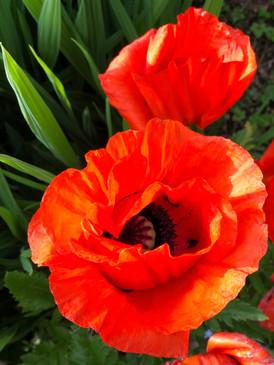 Red-poppies-002.JPG