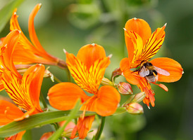 Alstroemeria-orange-king-002.JPG