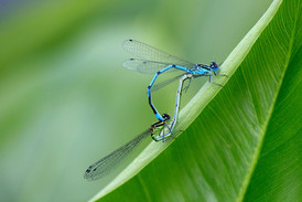 Common-Blue-Damsonfly-002.JPG