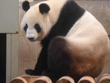 El primer panda con un aparato de ortodoncia está en Taiwán