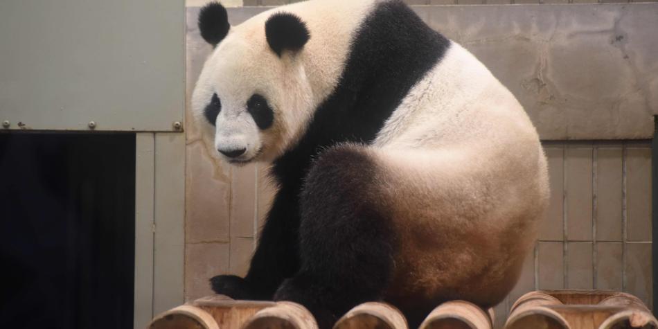 Panda en Taiwan con ortodoncia