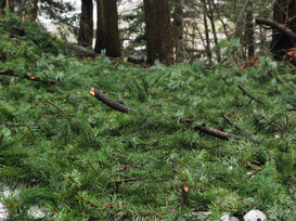 pine needles copy.JPG