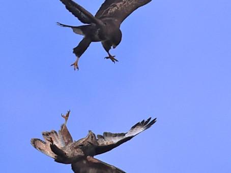 Buzzards over Kidderminster