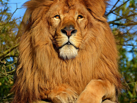 Wild cats: International Lions Day - August 10, 2019