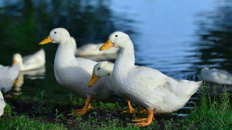 Hen House Gold Duck & Geese Pellet