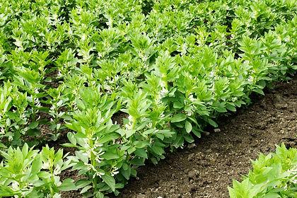 field faba beans