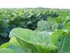 3 New Herbicide-Tolerant soybeans released