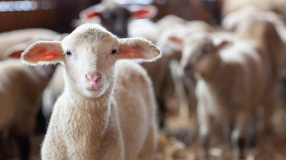 Lamb Feedlot Pellet