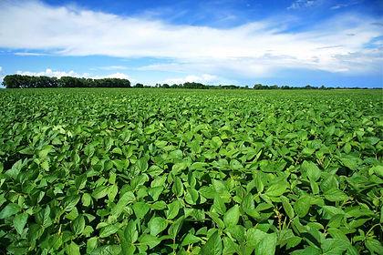 field soybeans