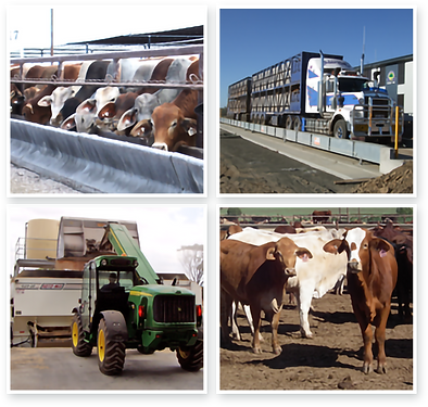 feedlot-production2.png