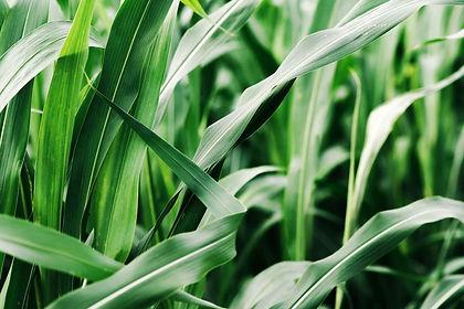 field forage sorghum