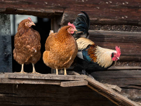 PBA Feeds releases a new poultry feed - Hen House Gold