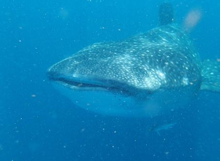 Nager avec les requins-baleines