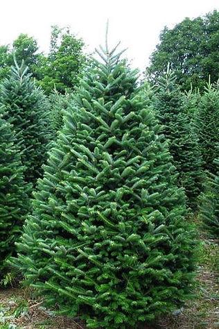 0000018_fraser-fir-christmas-tree_600.jp