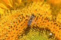 Bee sunflower 091519.jpg