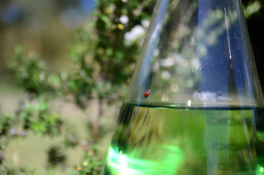 Lady Beetle on Manuka flask.jpg