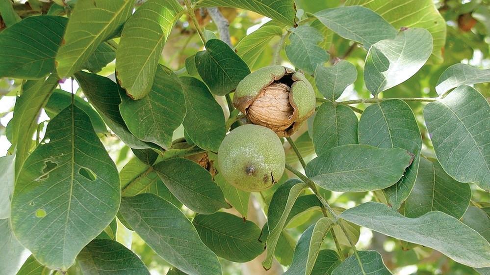harvest-walnuts.jpg