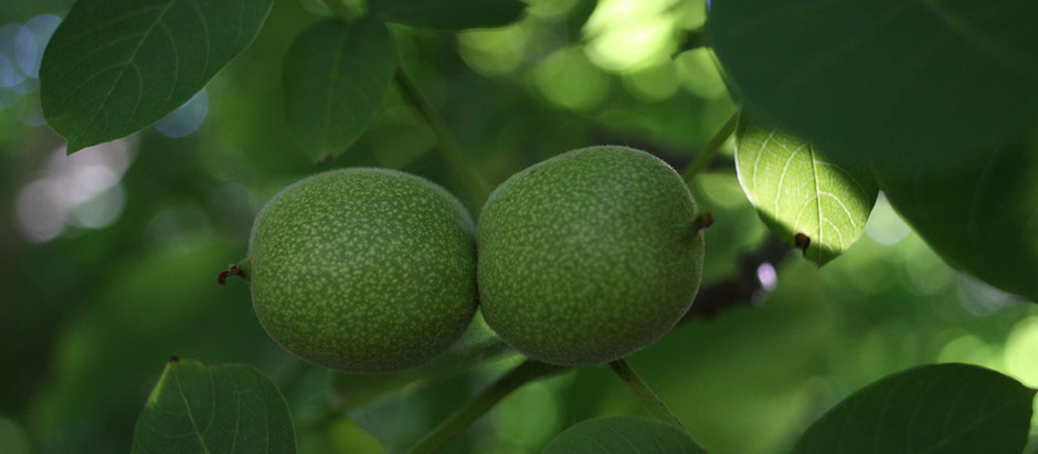 The Walnut Growing Process