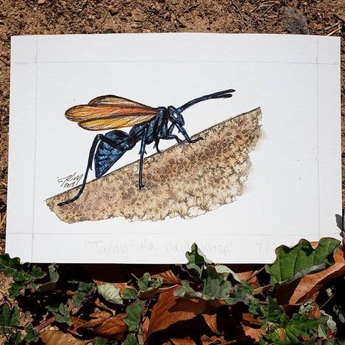 Tarantula Hawk Wasp 7/24/18