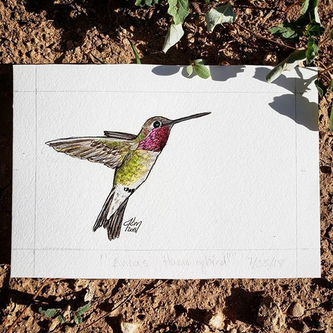 Anna's Hummingbird 7/23/18