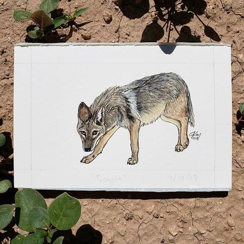 Coyote 7/17/18