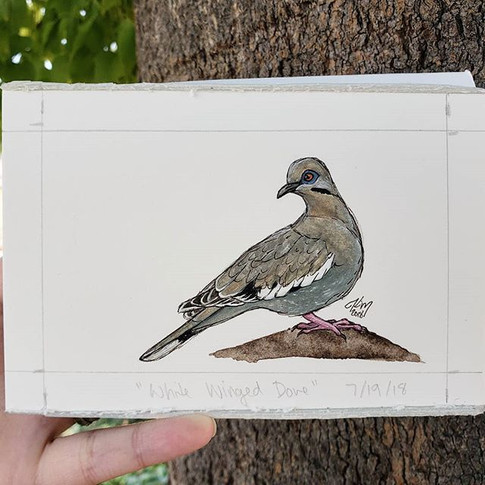 White Winged Dove 7/19/18