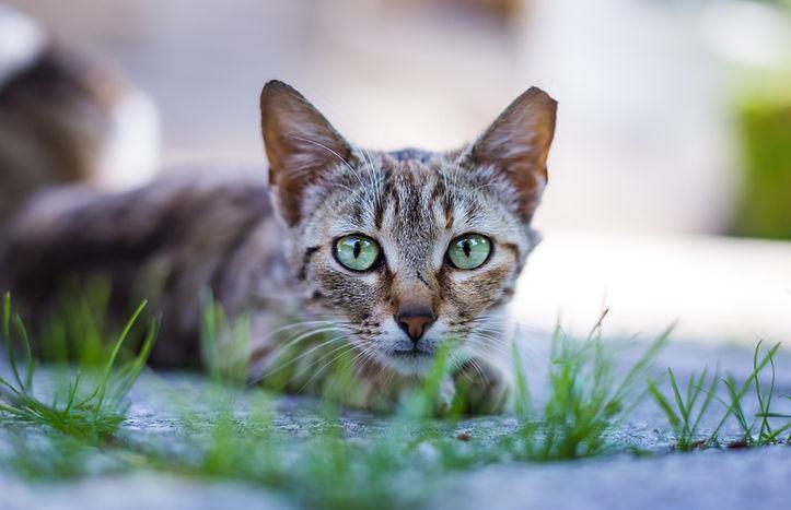 animal-blur-cat-cat-face-419282-tipped.j