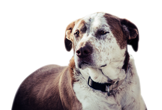 adult-white-and-brown-american-pit-bull-