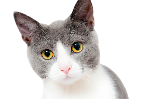 grey-and-white-short-fur-cat-104827 copy