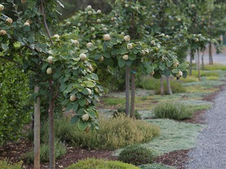 quince trees with ground covers.jpg