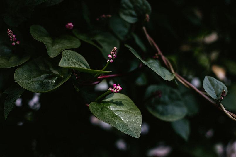 Malabar climbing spinach landscape shot.