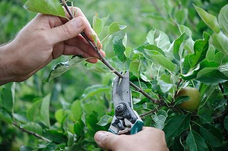 Fruit tree pruning.webp