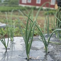 Grönsaksodling i långa rader