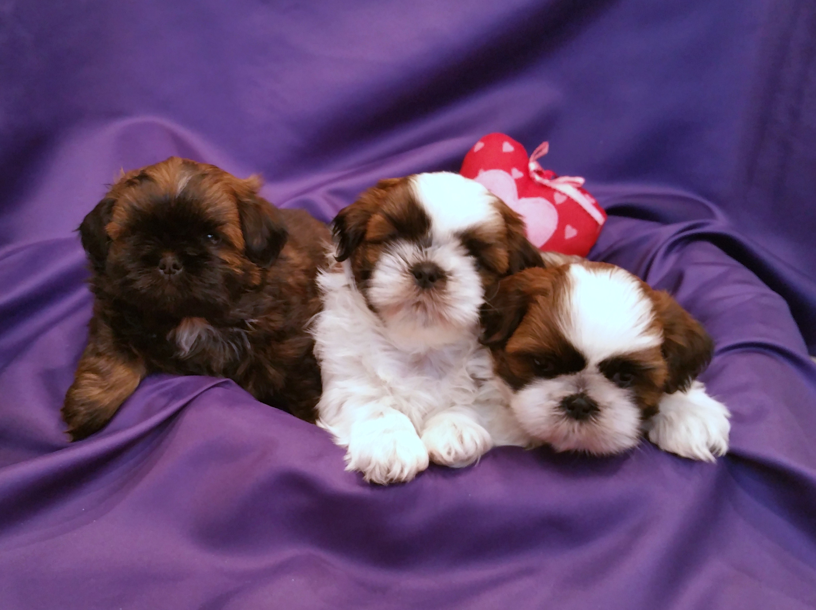 Sugarandspiceshihtzuscom Utah Shihtzu Puppies Akc Registered