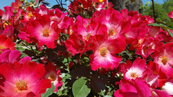 hedging roses