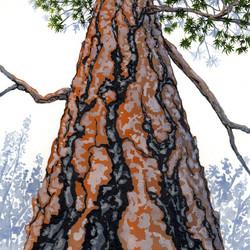 ponderosa pine 12 - 2014-03-14 at 15-31-57.jpg