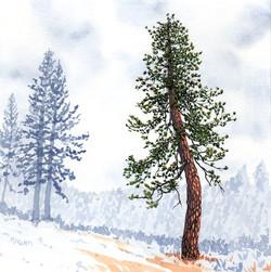 ponderosa pine 24 - 2014-03-14 at 14-10-35.jpg