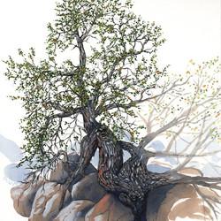 joshua tree - turbinella oak - 2014-01-22 at 10-43-32.jpg