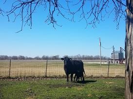 Pat Kirk Angus - Calf Cow Farm in Iowa.p