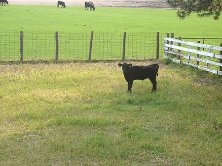 Pat Kirk Angus Grass Fed Calves for Summ