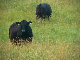 Pat Kirk Angus - Iowa Angus Breeder - Angus Calves for Sale in Iowa 33.png