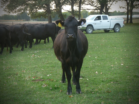 What Makes a Breed Angus? History, Characteristics, and Benefits