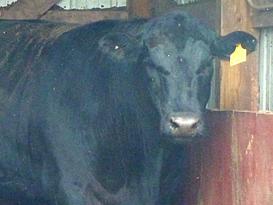 Pat Kirk Angus - Iowa Angus Breeder - Angus Calves for Sale in Iowa 7.png