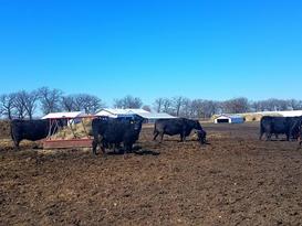 Pat Kirk Angus - Newborn Calves in Iowa.