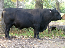 What Makes Cattle Angus _ Angus Cattle S